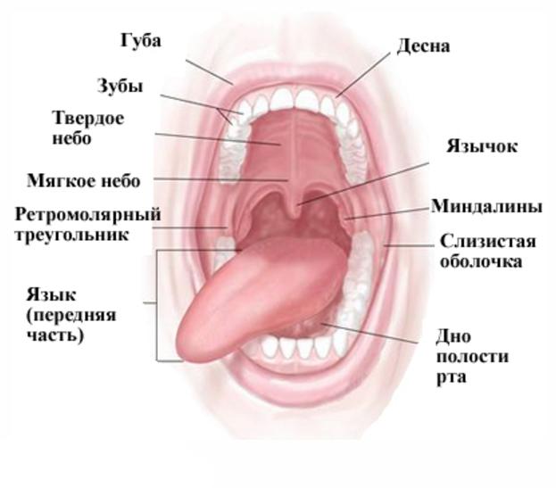 Схема ротовой полости